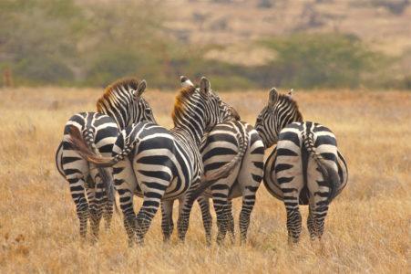masai mar zebras