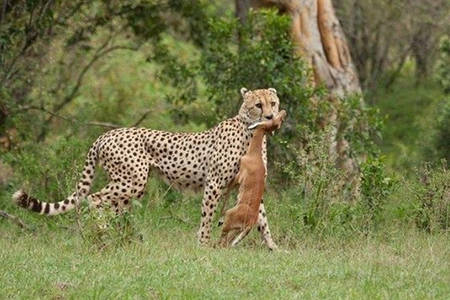 Masai Mara Cheetah Kill