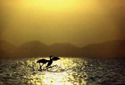 Cormorant Lale Naivasha