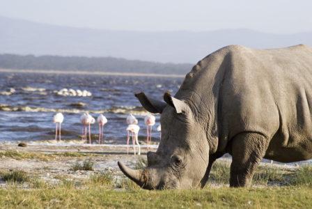 Lake Nakuru Rhinos
