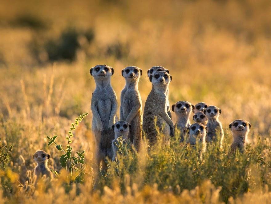 African Safari Meerkat Family